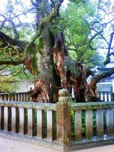 樹齢2,600年のクス